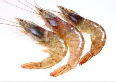 Brown Shrimp